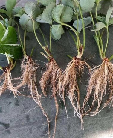 Саженцы (рассада) клубники копанка зеленка окс