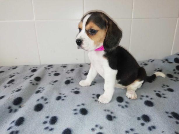 Beagle com microchipe e LOP (Pedigree)