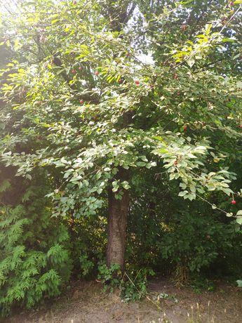 Drewno na opał z drzew owocowych.