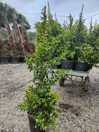 Eugenia Myrtifolia Newport 100/120cm 9L
