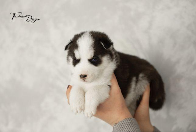 Разноглазый медвежонок! Продается щенок Сибирский Хаски. КСУ