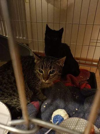 Piękne kociaki do adopcji - czarna Jagódka i pręgowany Inżynier