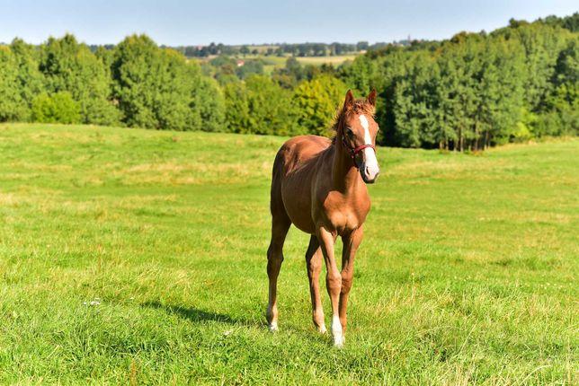 koń,źrebak konie na sprzedaż.