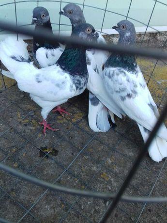 голуби Будапешти високольотні