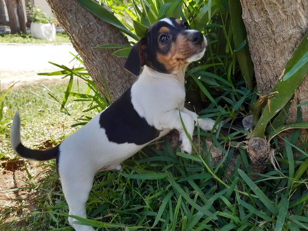 Excelente Macho Jack Russell