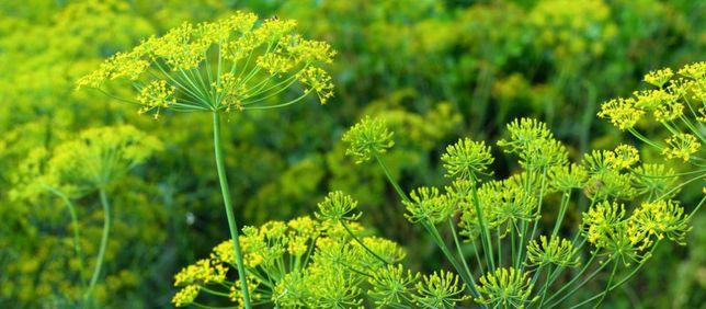 Koper ogrodowy Lukulus - nasiona