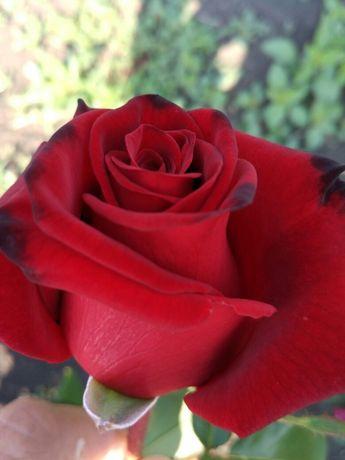 Продаю саженцы роз, кусты роз чаиногибридные ,спрей ,вьющиися