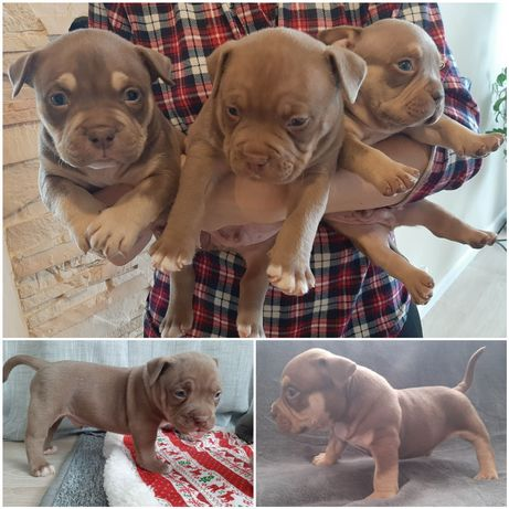 American Bully ABKC hight quality puppys