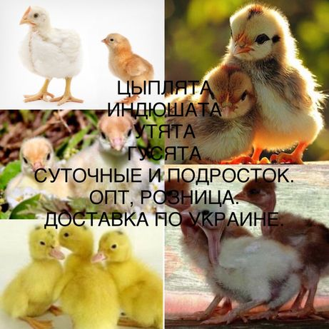 Цыплята, индюшата, утята, гусята. Опт/розница. Доставка.
