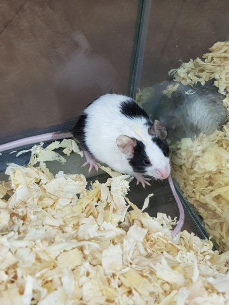 Mysz Domowa