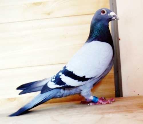 Gołębie pocztowe! Wartościowy Niebieski! Powrót! biały dziób!