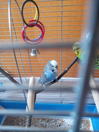Papuga falista zamiana