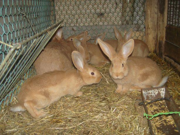 sprzedam króliki burgundzkie