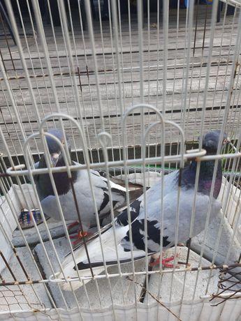 Gołębie  Gołąbki