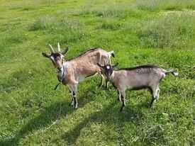 Witam sprzedam dwie kozy za trzysta złoty