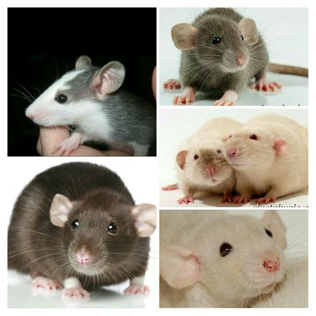 Милые крысята дамбо