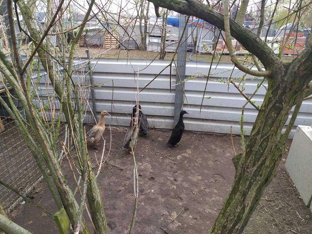 Kaczki i kaczory Staropolskie Biegusy i Białe