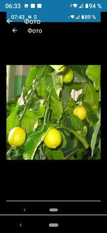 Семена малазийского лимона