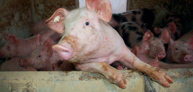 Tuczniki Świnie Własna Hodowla