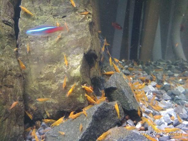 Аквариумные креветки неокардина оранжевая