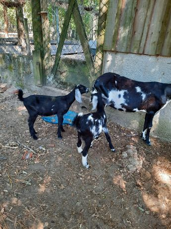 Vendo  cabras raça  para  anglonubianas