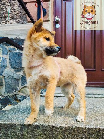 Hodowla psów rasowych: Shiba Inu