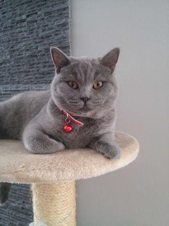 Kot Kotek Kotki Brytyjskie FPL/FIFe