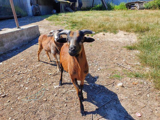 Owce kameruńskie sprzedam