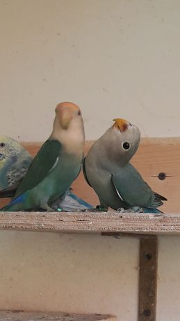 Papugi niebieskie
