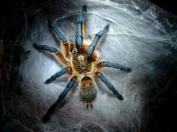 Ptasznik Harpactira pulchripes L3