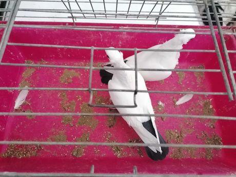 Gołębie.    Dryjery