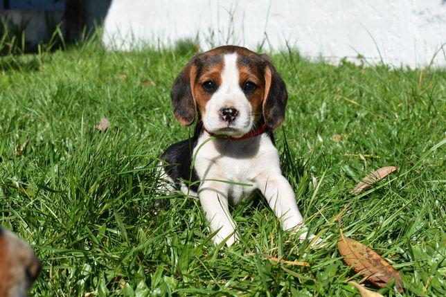 Beagle tricolor disponível