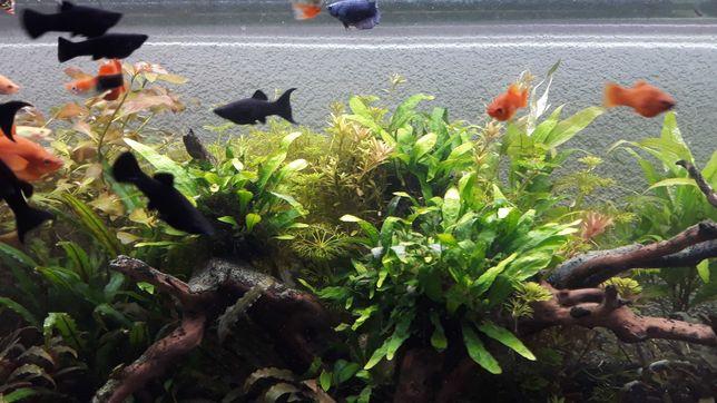 Rosliny akwariowe szybkorosnace (malowymagalne)