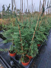 Cupressus Leylandii 100-400cm