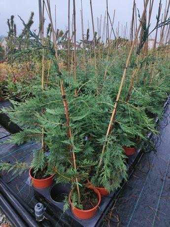 Cupressus Leylandii 150cm