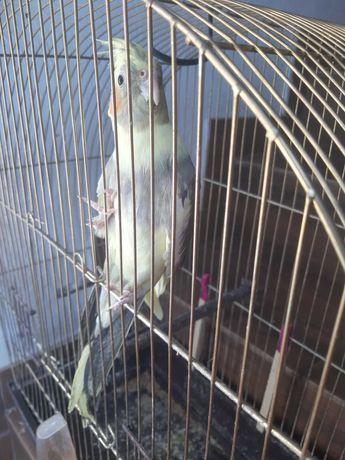 Papuga Nimfa roczna