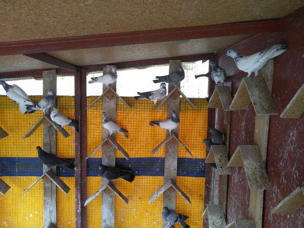 Будапешсткие высоколетные турманы (голуби)