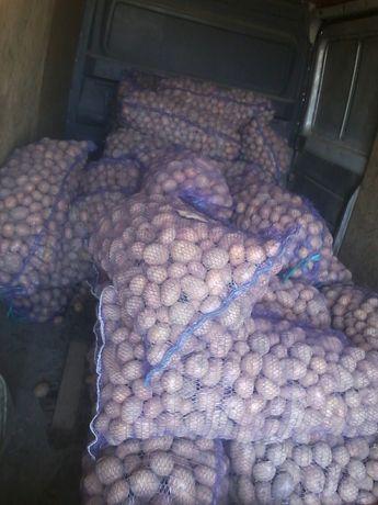 Продам насіння картоплі біла роса