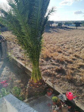 Vendo Palmeira 7m