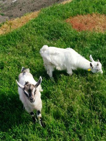Коза, козлята, двойные козы
