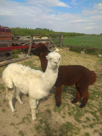 Samiec i samica Alpaka