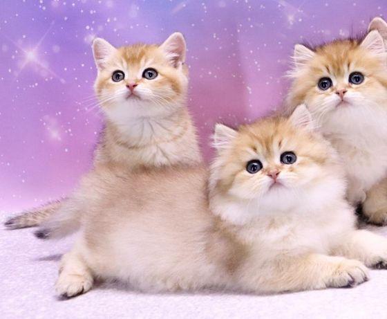 Роскошные британские котята