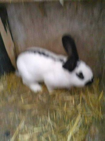 Srokacz niemiecki - królik samiec