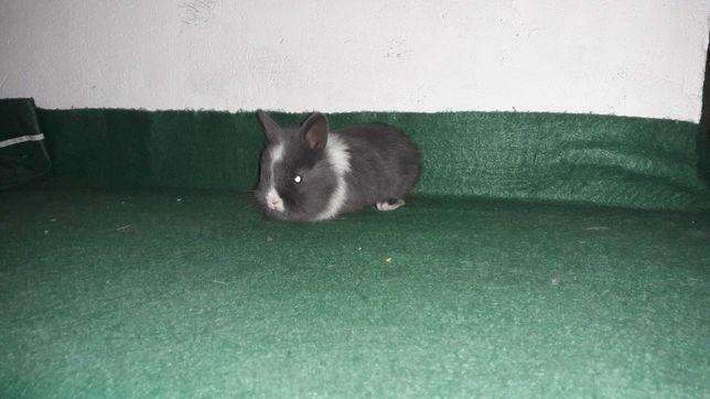 Декоративні кролики, карликовий кролик