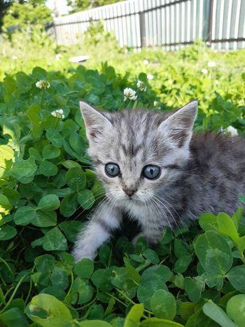 Котенятка 1,5 міс