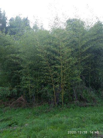 Vendo canas da india  ( bambu )