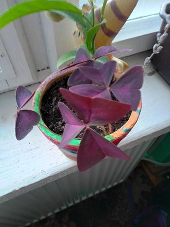 Молоді рослини кислиці та бегонія