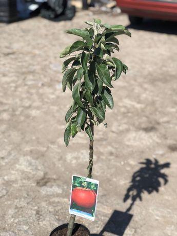 Macieira Anã em vaso