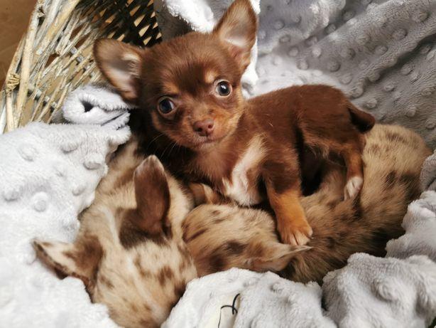 Chihuahua - szczenięta