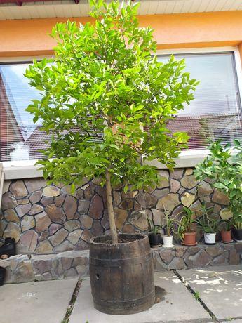 Безплідне лимонне дерево